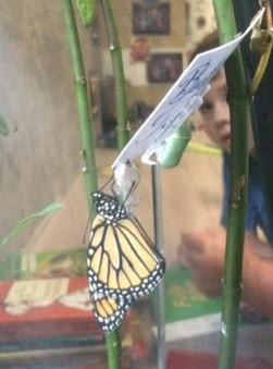 Monarch in classroom