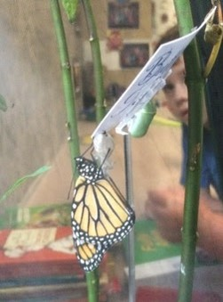 Monarch in classroom